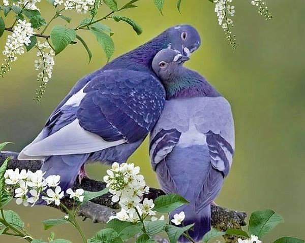голуби магикум