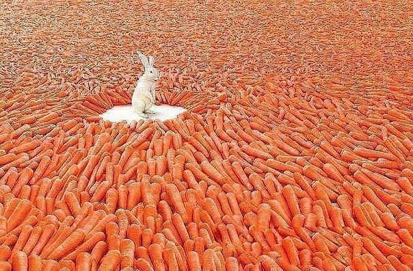 морковь магикум сонник