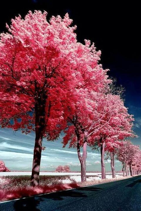 деревья магикум сонник