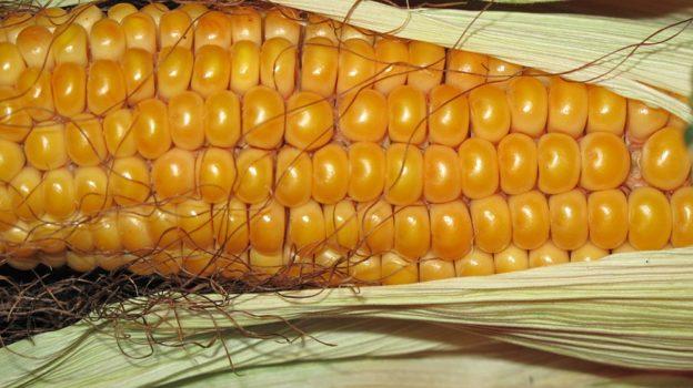 Сонник видеть во сне кукурузу