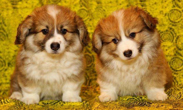 Сонник щенки собаки